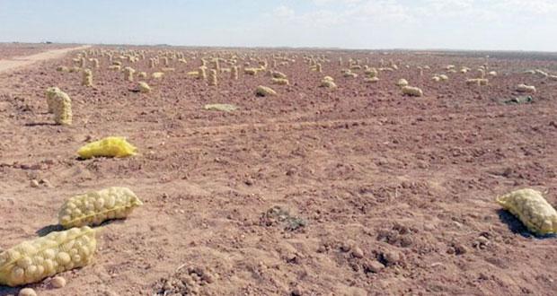 زراعة حقل ارشادي لـ(البطاطس) بمنطقة النجد (حنفيت) بولاية ثمريت