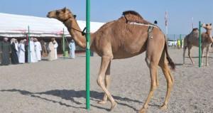 تواصل فعاليات المهرجان الرابع عشر لمزاينة الإبل بولاية صحم