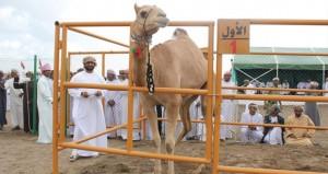 تواصل بنجاح لليوم الثالث على التوالي مهرجان المزاينة للإبل بميدان الفليج ببركاء.