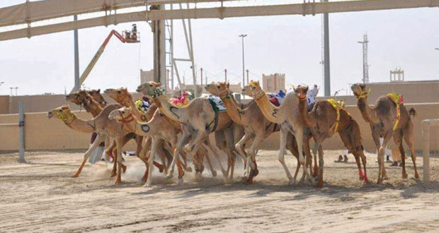 اللجنة المنظمة لسباقات الهجن بقطر تخصص شوط للسلالات العمانية