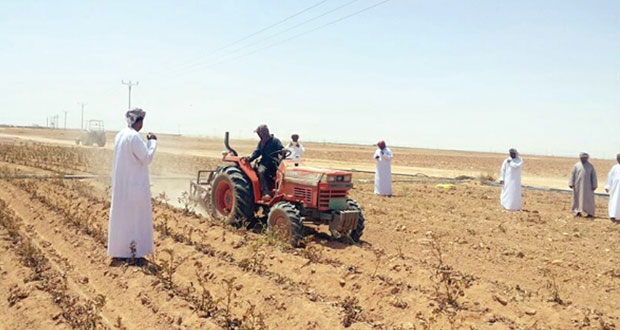 توقعات بإنتاج 6 آلاف طن من محصول البطاطس بمنطقه النجد في الموسم الزراعي الحالي