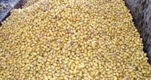 300 طن إجمالي التصدير المباشر للبسور العمانية من المزارعين إلى الأسواق الهندية