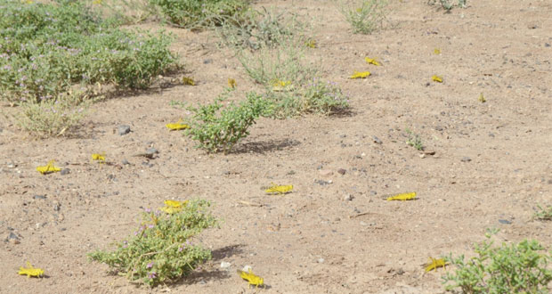 وزارة الزراعة والثروة السمكية: لا تأثير للجراد الصحراوي على السلطنة