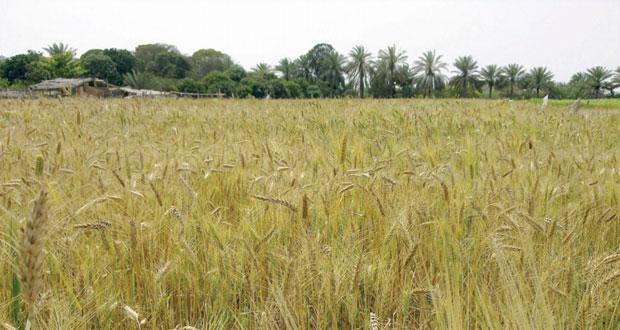 بدء موسم حصاد القمح بولاية العوابي