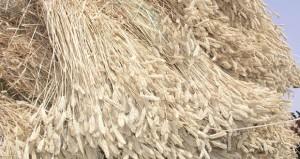 الإثنين القادم.. (الزراعة والثروة السمكية) تحتفل بيوم حصاد القمح