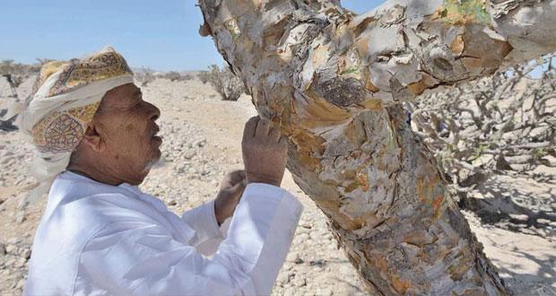 مكتب مستشار جلالة السلطان للشؤون الثقافية ينفذ تجربة انتاج اللبان بمحمية وادي دوكة