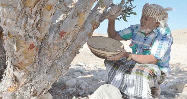 لبان ظفار.. علاج وتجميل وقداسة في الحضارات القديمة