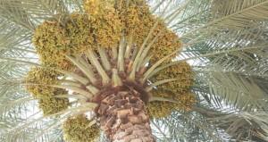 أهالي الرستاق يواصلون طناء أشجار النخيل بمختلف قرى الولاية
