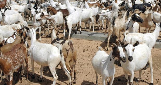تربية الماعز المحلي تلقى إقبالاً من مربي الثروة الحيوانية