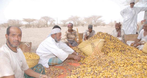"""""""التبسيل"""".. دعامة اقتصادية يحرص المزارعون على القيام بها في كل عام"""