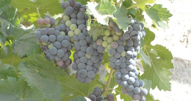 بلدة الروضة في المضيبي تتميز بزراعة أفضل أصناف العنب