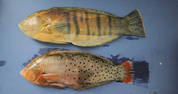 العثور على زوجين لسمكة الببغاء في المياه العمانية