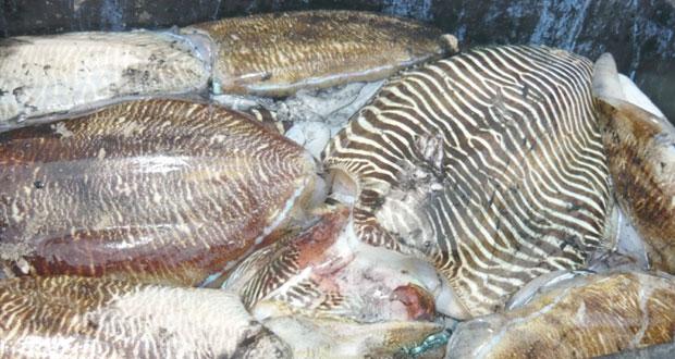بدء موسم صيد ثروة الحبار في سواحل السلطنة