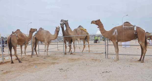 إسدال الستار على فعاليات مهرجان ظفار الثاني للمزاينة والمحالبة وسط نجاح باهر وإشادة واسعة