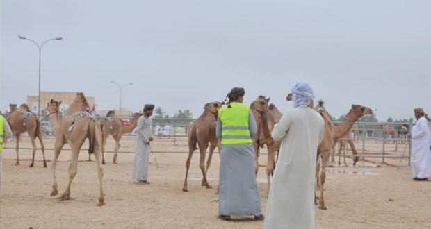 تواصل فعاليات مهرجان ظفار الثاني للمزاينة والمحالبة لليوم الرابع على التوالي