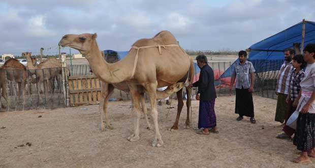 مهرجان خريف ظفار للمزاينة والمحالبة سجل نفسه بين خارطة المهرجانات بالخليج