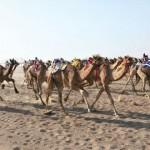اليوم .. ختام فعاليات سباق الهجن العربية الأصيلة بدعم من شركة اوكسيدنتل بولاية هيماء