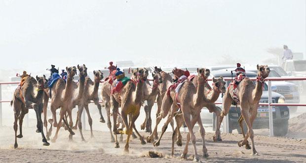 اليوم ختام المحطة الثالثة من مهرجان الهجن بولاية أدم