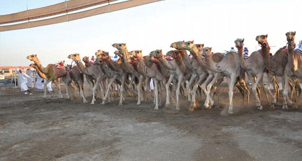 اليوم .. ختام السباق العام الذي يقيمة الاتحاد العماني لسباقات الهجن بمضمار الفليج