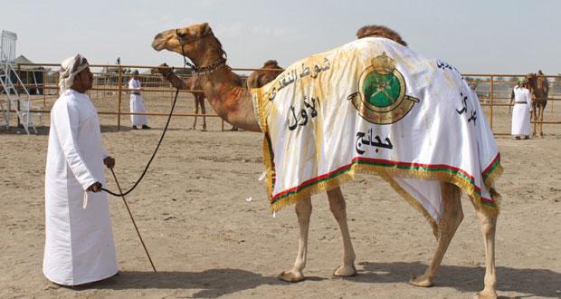 تواصل مهرجان المزاينة للإبل بميدان الفليج ببركاء لليوم الثاني على التوالي