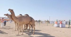 وزير الزراعة والثروة السمكية يرعى حفل إسدال الستارعلى مهرجان حمراء الدروع لمزاينة الإبل الأول