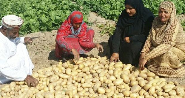 يوم حقل إرشادي في حصاد محصول البطاطس بقرية زكيت