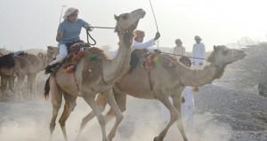 سباق لركض العرضة الأول للهجن العمانية بولاية العوابي
