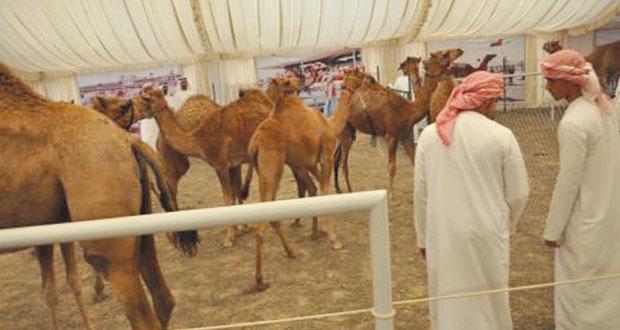 الجمعة القادم .. انطلاق فعاليات مهرجان صحم الثاني لمزاينة الإبل (الحيران)