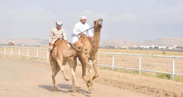 الهجانة السلطانية تعلن برنامج المهرجان السنوي لسباقات الهجن الأهلية الثالث عشر