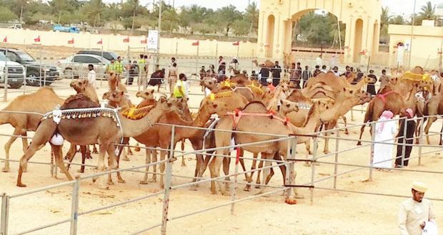 تواصل مثير لفعاليات مهرجان خريف ظفار للمزاينة والمحالبة الرابع بصلالة