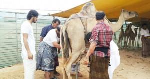 انطلاق فعاليات مهرجان خريف ظفار للمزاينة والمحالبة الرابع بصلالة