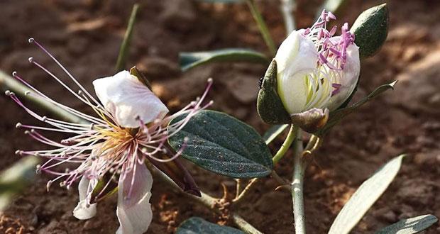 البحث العلمي يمول دراسة بحثية في مجال تصنيع الادوية الطبية الطبيعية بالنباتات العمانية البرية