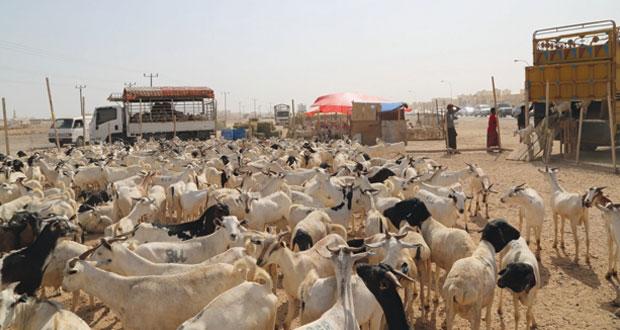 قبيل العيد.. وتيرة الشراء ترتفع في سوق المواشي في المعبيلة الجنوبية