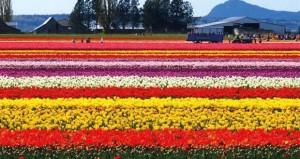 4.7 ملياردولار قيمة تجارة الزهور في العالم سنويا
