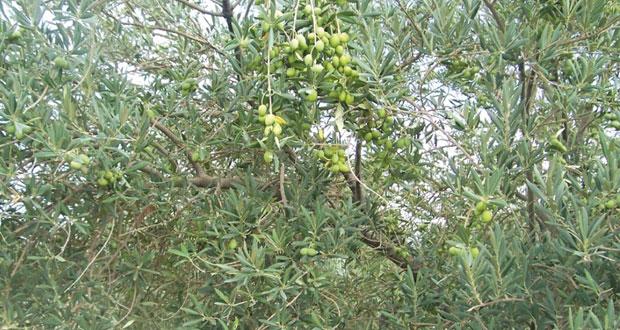 استخلاص زيت الزيتون بالجبل الأخضر يشهد نموا في حجم الإنتاج واتساع المساحات المزروعة