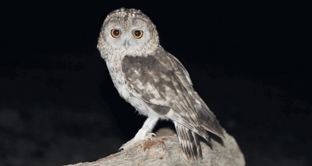 """بحث بيئي ينجح في حلّ لغز النوع النادر لطائر """"البومة العُمانية """" الذي يتكاثر على الأراضي العُمانية فقط"""
