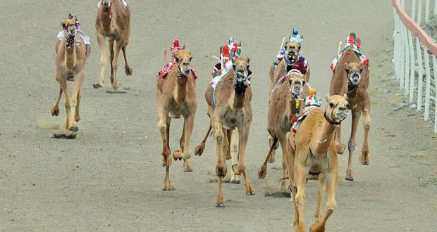 انطلاق فعاليات السباق العام التأهيلي الذي يقيمه الاتحاد العماني لسباقات الهجن.. الثلاثاء القادم