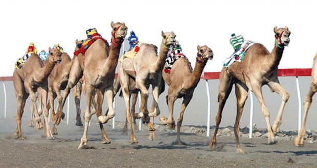 استعدادات كبيرة لاستضافة السلطنة البطولة الخليجية لسباقات الهجن 2015