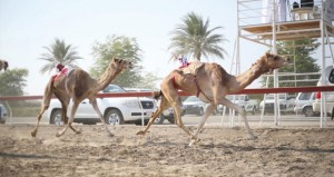 ختام ناجح ومثير لفعاليات سباق الهجن بسيح الطيبات بولاية صحم