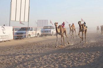 اليوم .. ختام سباق الهجن بدعم من شركة اوكسيدنتال عمان بميدان رفاش بولاية عبري