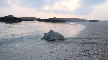 جمعية البيئة العمانية تطلق حملة لحماية سلاحف الريماني من خطر الانقراض