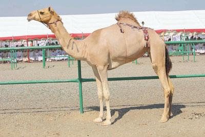 تواصل فعاليات المهرجان السنوي السادس عشر لمزاينة الإبل بسيح الطيبات بولاية صحم