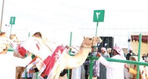 انطلاق مهرجان حمراء الدروع الثاني لمزاينة الإبل
