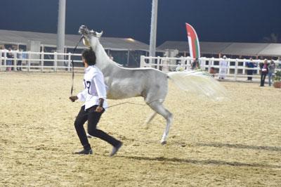 انطلاق بطولة عمان المحلية الرابعة لجمال الخيل العربي بمزرعة الرحبة ببركاء