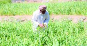 الزراعة في «العوابي» .. تربة خصبة ووفرة في المياه وتنوع بالمحاصيل الزراعية