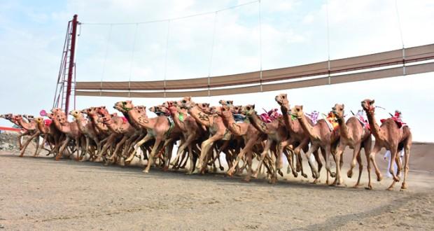 15 شوطا في افتتاح منافسات المحطة الأخيرة لسباقات الهجن على ميدان صحار