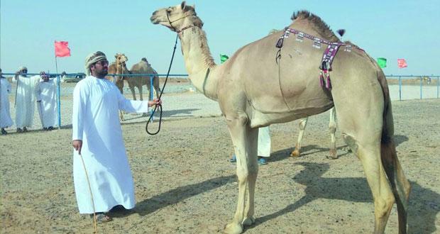 3 أشواط في ختام منافسات مهرجان الجوبة لمزاينة الهجن بمحوت