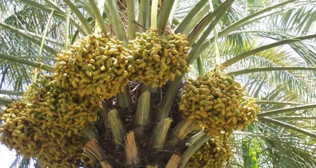 اليوم ..بدء طناء ثمار النخيل بعدد من قرى الرستاق