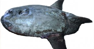 رصد أربعة أنواع نادرة من أسماك الشمس الفريدة ببحار السلطنة