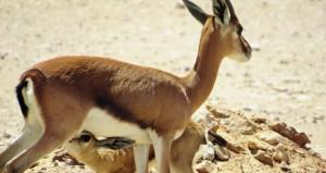 مكتب حفظ البيئة يجري عددا من الدراسات والمشاريع البحثية للحفاظ على الأنواع الفريدة الحيوانية والنباتية في السلطنة